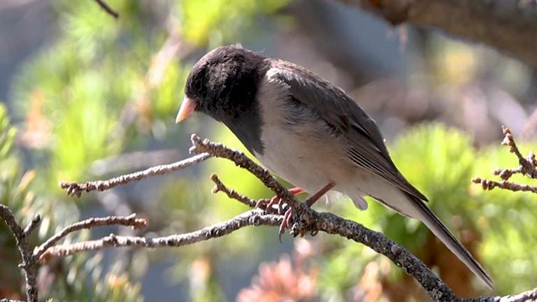 oregon dark-eyed junco