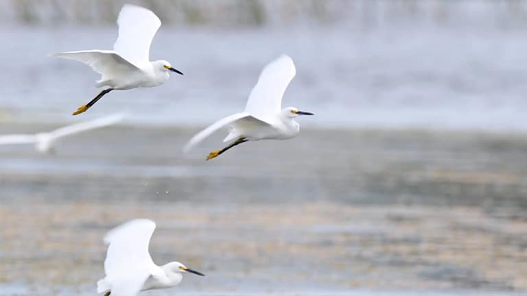 three great egrets in flight